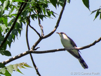 Yellow-billed Cuckoo at Doodletown, photo by Carena Pooth