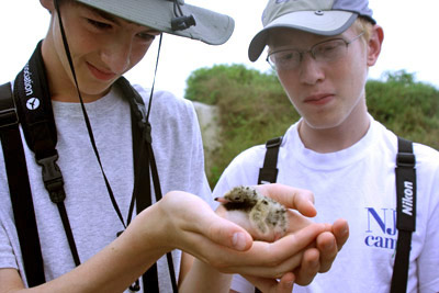 Studying a Common Tern Chick