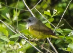 Mourning Warbler, photo by Joe Hernandez