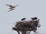 Osprey family at its nest, photo by Andrew Marden