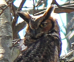 Great Horned Owl, photo by Joe Hernandez