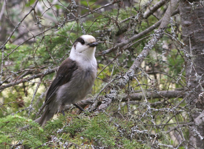 Adult Gray Jay, photo by Eamon Freiburger