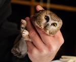 Northern Saw-whet Owl banding, photo by Rebecca Loomis