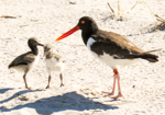 American Oystercatcher adult & young, photo by Rion Yoshimura