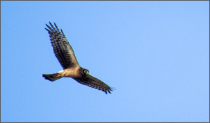 Northern Harrier (female) - photo by Rion Yoshimura