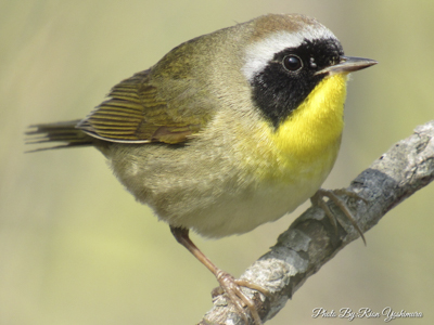 Common Yellowthroat - photo by Rion Yoshimura