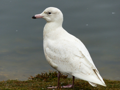 Glaucous Gull, photo by Kai Victor