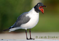 Laughing Gull, photo by Jacob Drucker