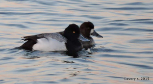 Lesser Scaup pair, photo by Avery Scott