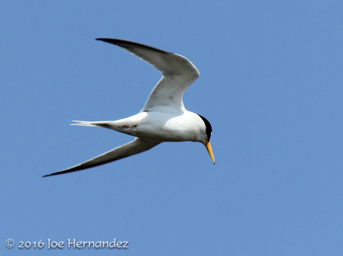 Least Tern, photo by Joe Hernandez