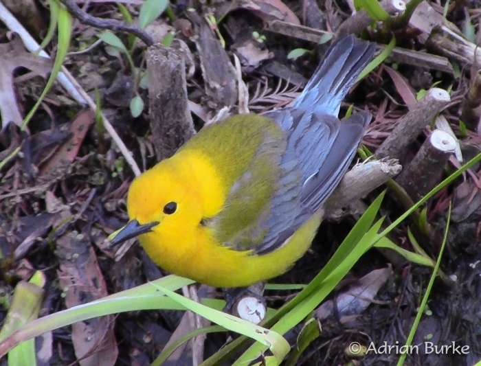 Prothonotary Warbler, photo by Adrian Burke